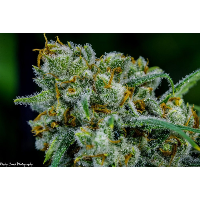Apollo Eleven Grimm Brothers Seeds