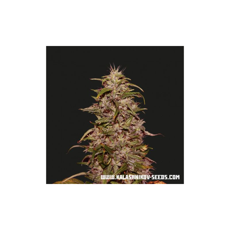 Big Altai Sativa Express Kalashnikov Seeds