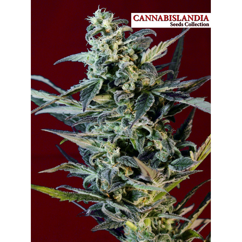 Red G13 Cannabislandia Seeds Collection