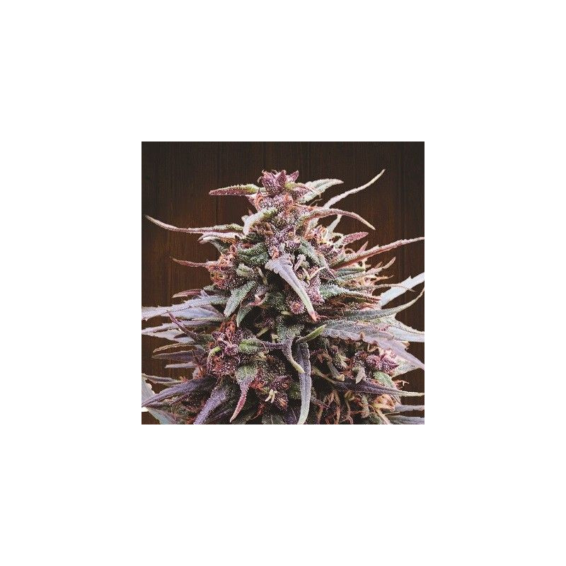 Purple Haze x Malawi