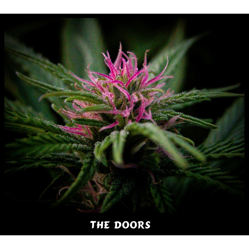 The Doors (NL5 x Haze AC)