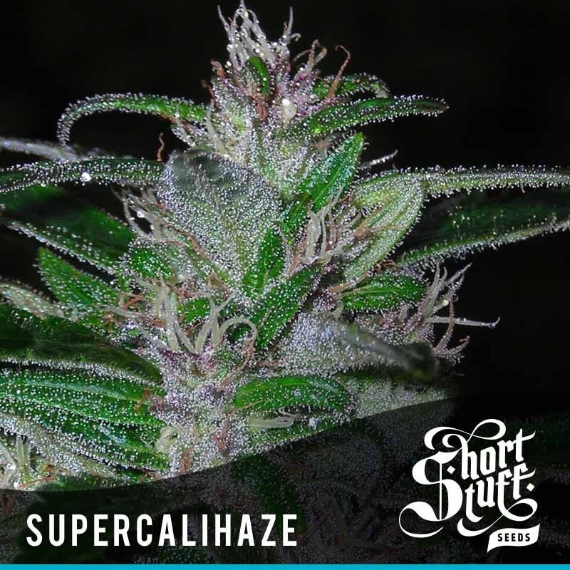 Super Cali Haze