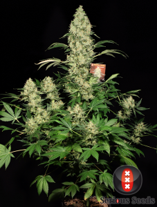 ak 47 marijuana whole-plant