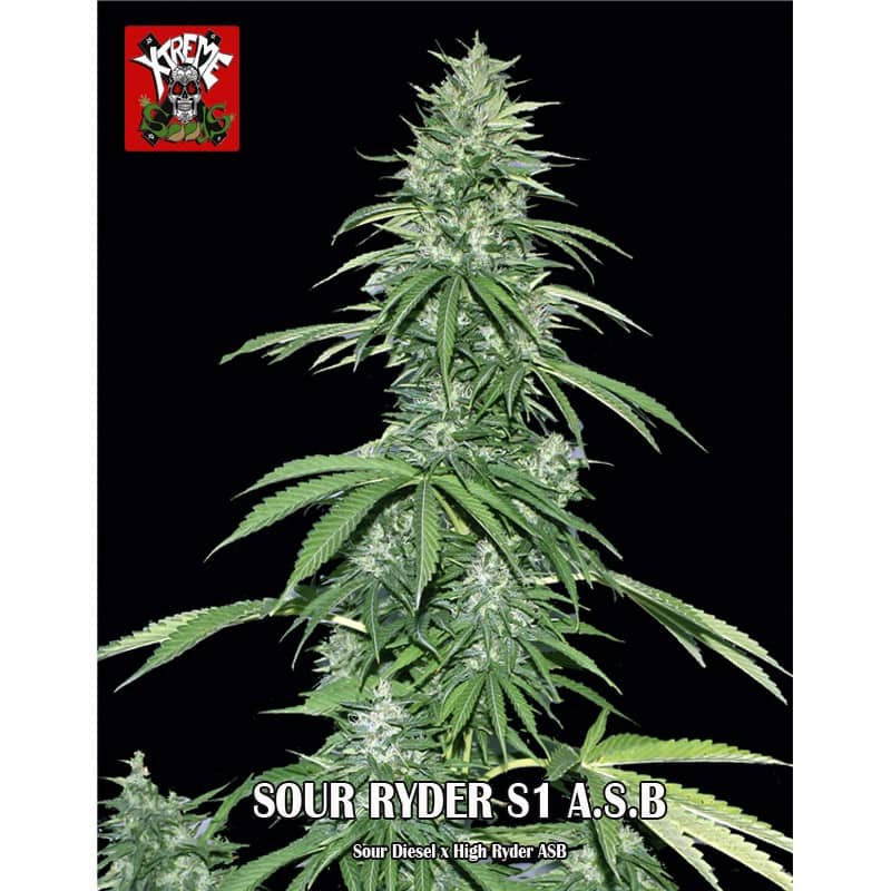 Sour Ryder ASB Xtreme Seeds