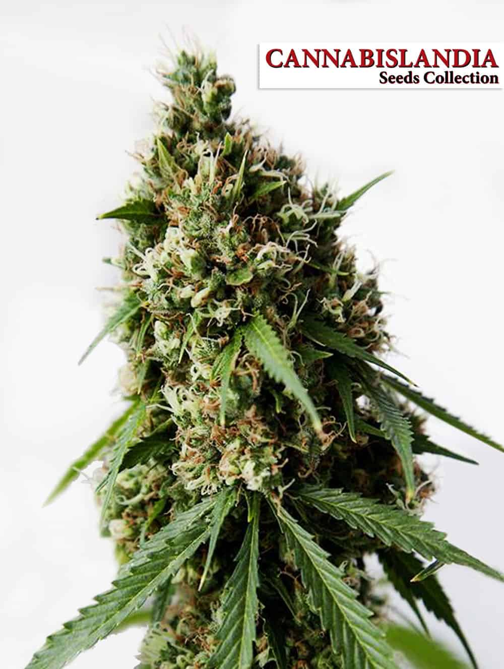 Auto Med CBD Cannabislandia Seeds Collection
