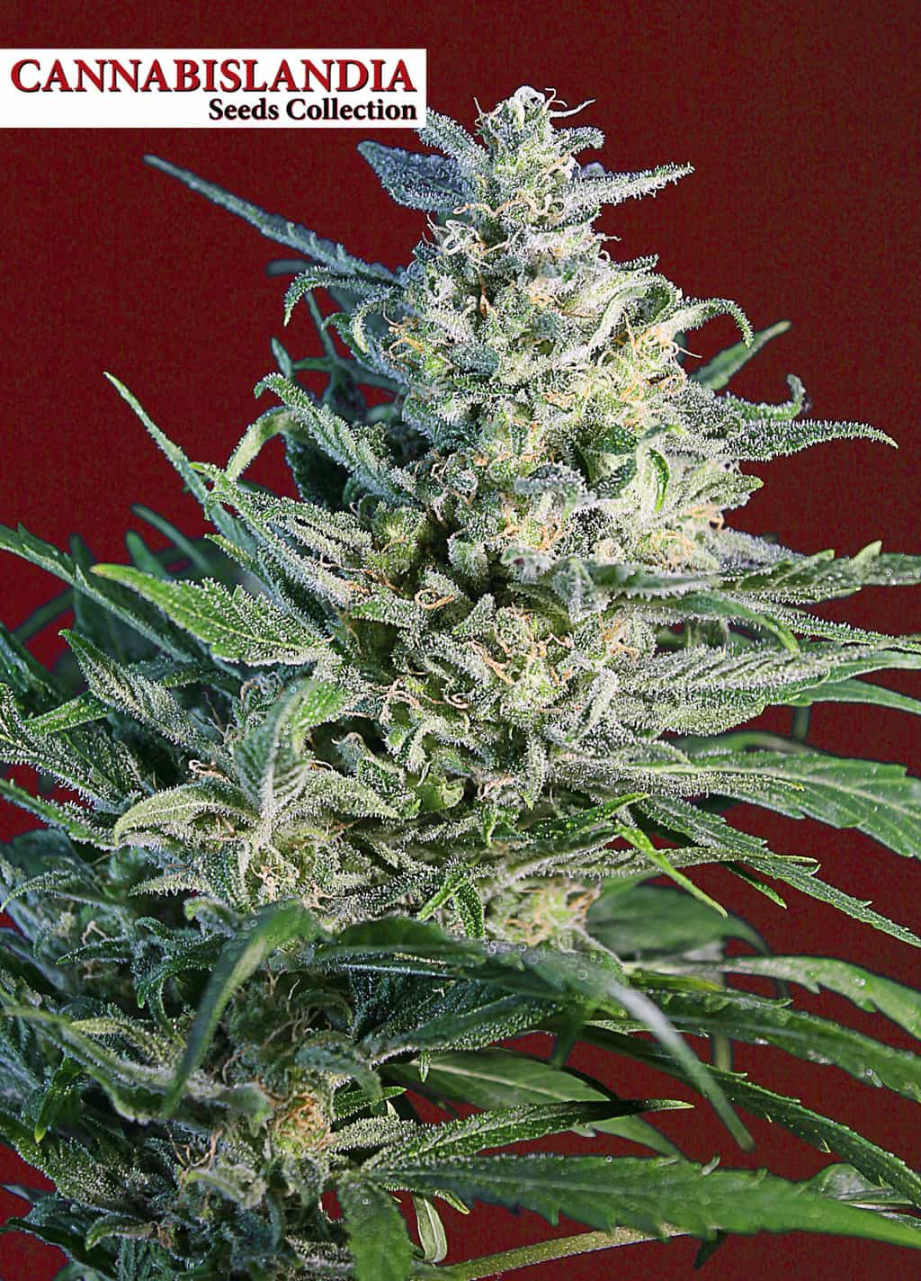 Cheese Skunk Cannabislandia Seeds Collection