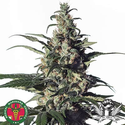 Candida de Medical Marijuana Genetics